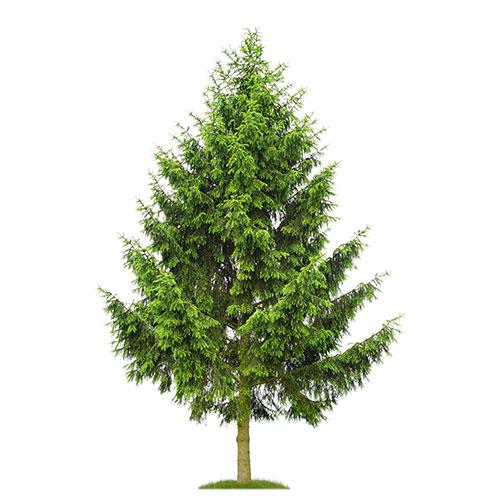 Fichte taugt nicht nur als Weihnachtsbaum, sondern auch als Gitarrenholz.